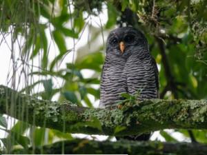 Coruja-preta é uma espécie rara, segundo observadores. Foto: Hudson Martins/Arquivo Pessoal