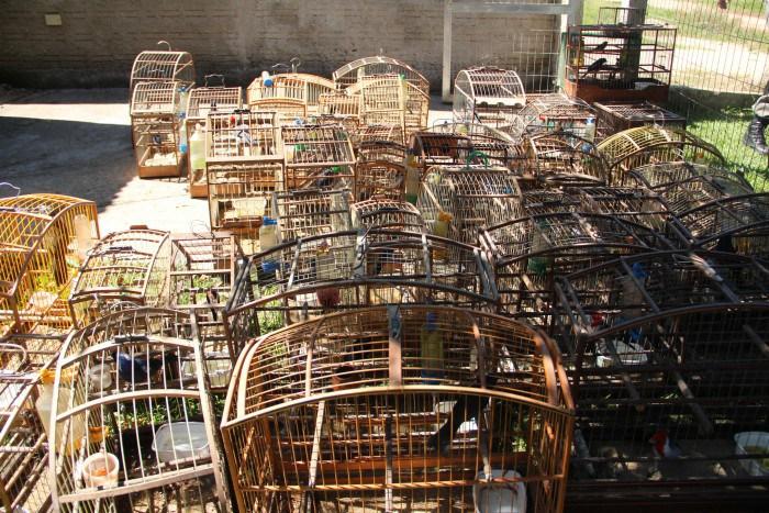 A ação ocorreu após uma denúncia anônima sobre comércio ilegal de aves no local. Foto: Fernando Rascado/ DIário Popular (Todos os direitos reservados)