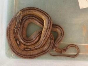 Réptil é um exemplar exótico da espécie conhecida como cobra-do-milho. Foto: Ibama/Divulgação