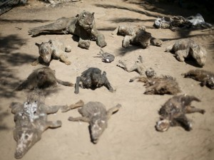 Dono do zoológico na Faixa de Gaza empalhou alguns dos animais que morreram de fome e os deixou disponíveis para os visitantes. Foto: Ibraheem Abu Mustafa/Reuters
