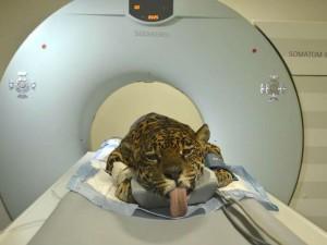 Animal passou por exames de sangue e avaliações clínicas e neurológicas. Foto: Everson Bressan/SMCS