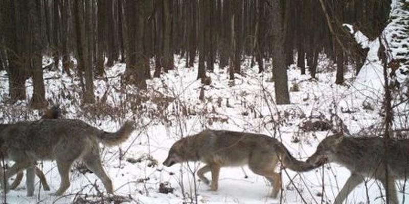Matilhas de lobos têm sido vistas na região (Foto: Reprodução/Universidade de Salford)