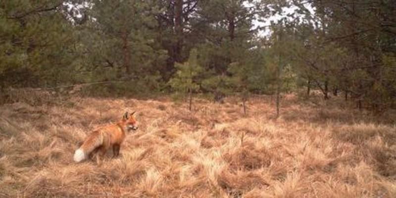 As raposas também têm vivido bem no local (Foto: Reprodução/Universidade de Salford)