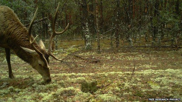 O veado-vermelho é uma das espécies que poderá ser equipado com um rádio colar, para monitoramento (Foto: Reprodução/Universidade de Salford)