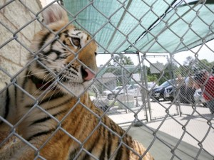 Tigre fêmea que foi encontrada vagando pelas ruas no Texas, na quinta (21). Foto: Jon Shapley/Houston Chronicle via AP