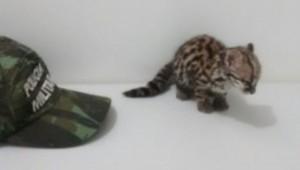 Gato maracajá está ameaçado de extinção, diz a polícia. Foto: Divulgação/ Batalhão Ambiental