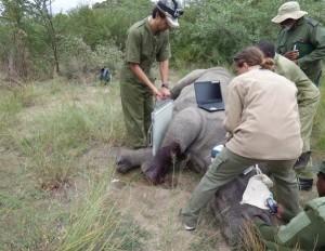 Ntombi recebe atendimento médico no Parque Nacional Matopos após ser atingida por disparos de caçadores ilegais. Foto: Lisa Marabini via AP