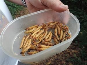 Zoológico de Bauru cultiva e alimenta os animais com larva de tenébrio. Foto: Heloísa Casonato/G1