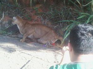Onça foi atropelada em Botucatu e resgatada por uma equipe da Polícia Ambiental. Foto: Arquivo Pessoal