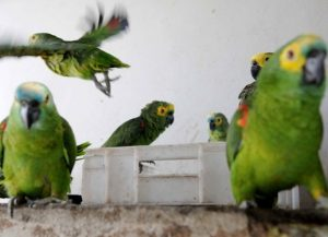 Aves vítimas de tráfico que foram resgatadas em Brasília. Foto: Dênio Simões/Agência Brasília