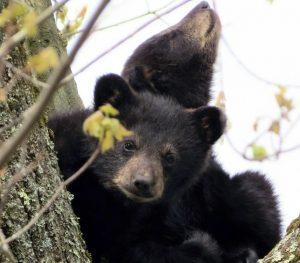 Filhotes de urso são resgatados de árvore após a morte de sua mãe no dia anterior. Foto: Paul N. DeMeo via AP