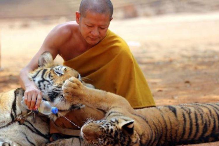 Monge budista brinca com dois animais no Templo dos tigres.