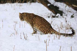 Área habitada pela espécie hoje é de apenas 8,5 milhões de quilômetros quadrados. Foto: Dar Yasin/Associated Press