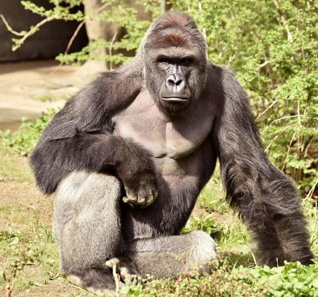 Gorila foi abatido após menino cair em área isolada de zoológico (Foto: Cincinnati Zoo/Reuters)