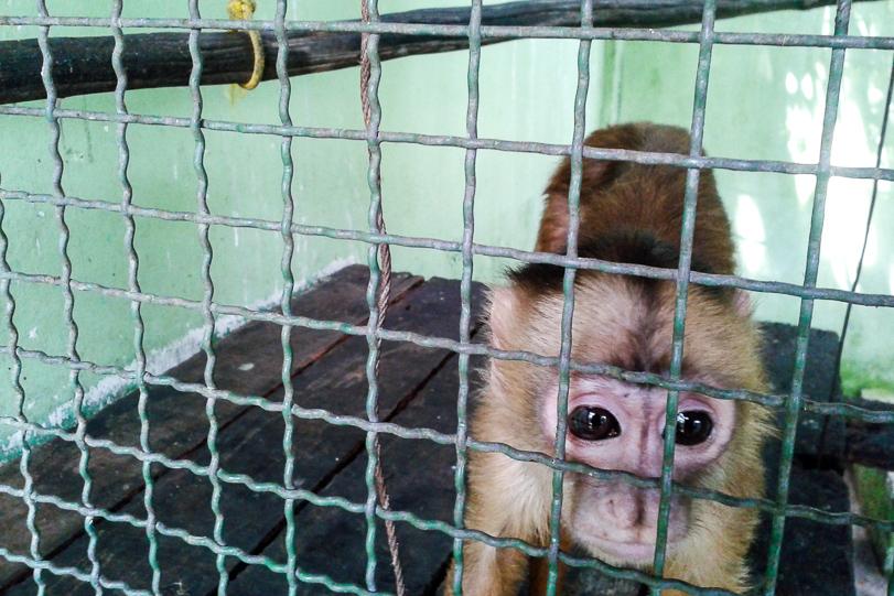 O macaco caiarara deformado pelos movimentos contidos dentro de uma gaiola pequena. Foto: Ibama