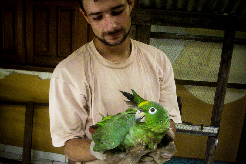 Laérzio Chiesorin Júnior, médico-veterinário do Cetas Sauim-Castanheiras, segura um papagaio resgatado. Poucos animais sobrevivem ao tráfico. Foto: Vandré Fonseca