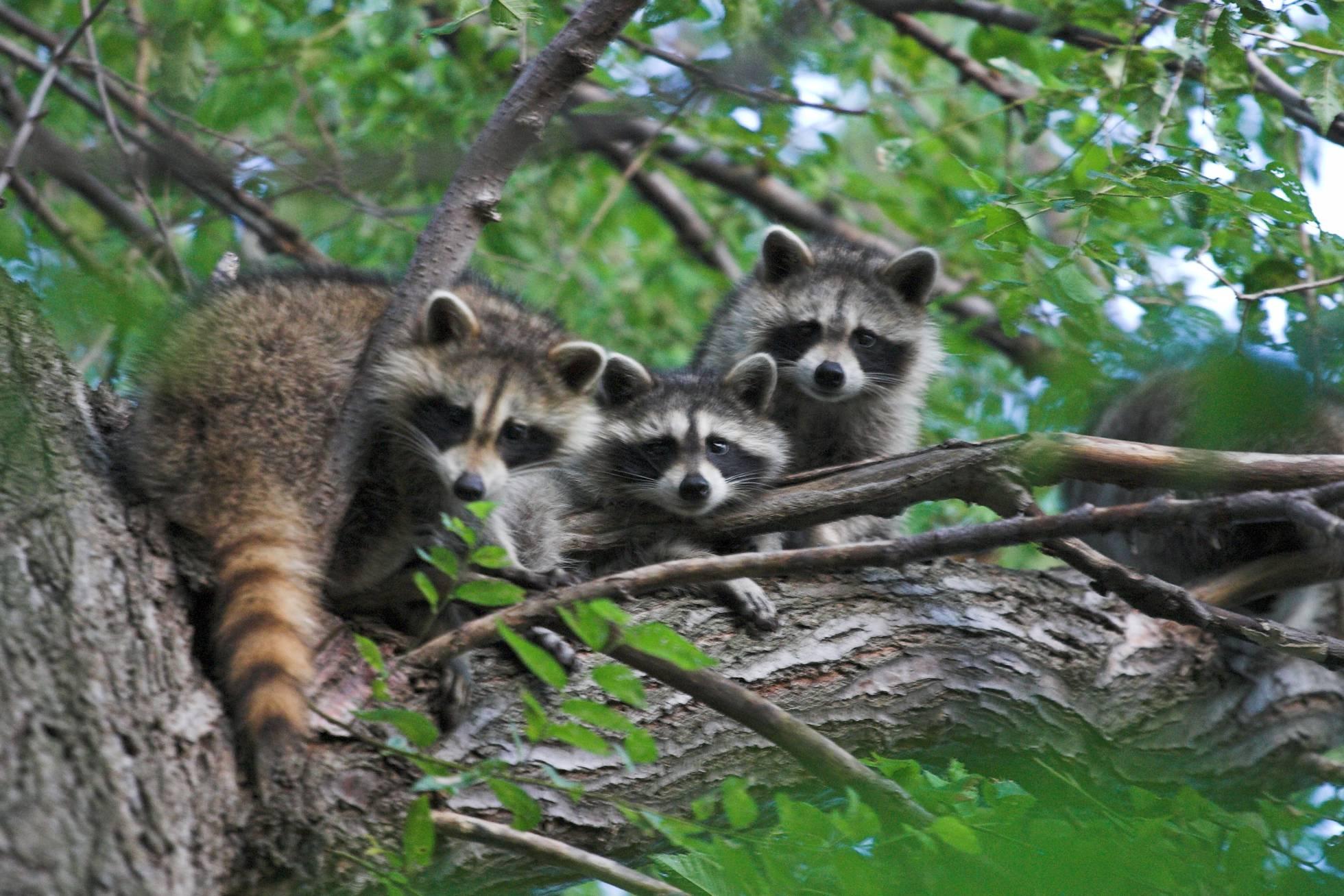 O guaxinim está entre os mamíferos que portam mais zoonoses. GARYJWOOD/WIKIMEDIA COMMONS