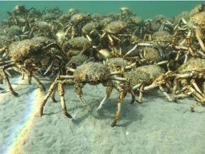 Acredita-se que os caranguejos se reunem em busca de proteção, mas uma teoria alternativa aponta como objetivo o acasalamento. Foto: Sheree Marris