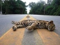 jaguatirica-morre-atropelada-no-trecho-que-corta-reservas-de-linhares-na-br-101