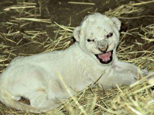 Filhote de leão branco nascido no Ellen Trout Zoo, em Lufkin, no Texas. Foto: Divulgação/Ellen Trout Zoo