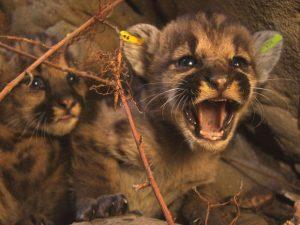 Dois filhotes de leão da montanha recém-encontrados são vistos nas Montanhas Santa Susana, perto de Los Angeles, em foto do dia 6 de julho. Foto: National Park Service/Handout via Reuters