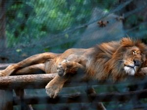 Leão dorme dentro de sua gaiola no jardim zoológico de Caricuao em Caracas. Foto: REUTERS/Carlos Jasso
