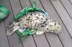 Filhote de foca deitado em deque da praia de Washington, nos EUA. Ele foi sacrificado após uma mulher levá-lo para casa em sacola de plástico. Foto: Associated Press/Marc Myrsell/Aquário de Westport