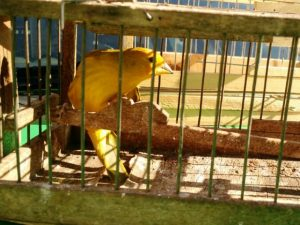 Canários da terra foram localizados em uma casa de Uberlândia. Foto: PM Meio Ambiente/Divulgação