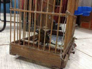 Pássaro da raça Curió, também foi resgatado pela Polícia Ambiental. Foto: Matheus Henrique/ G1