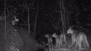Onças-pardas são flagradas por equipamento fotográfico em sítio em Monte Alto. Foto: Arquivo Samuel Maria