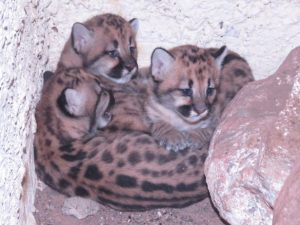 Filhotes de Suçuarana nascidos no Zoobotânico de Teresina. Foto:Semar