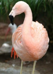 A flamingo Pinky, do Bush Gardens Tampa Bay, em foto não datada. Foto: Bush Gardens Tampa Bay via AP