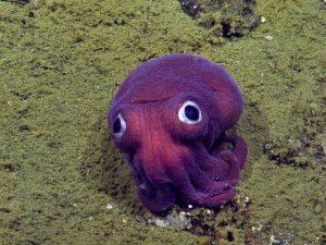 Imagem da câmera NautilusLive mostra lula de olhos arregalados no fundo do oceano no sul da Califórnia. Foto: OET/Nautiluslive via AP