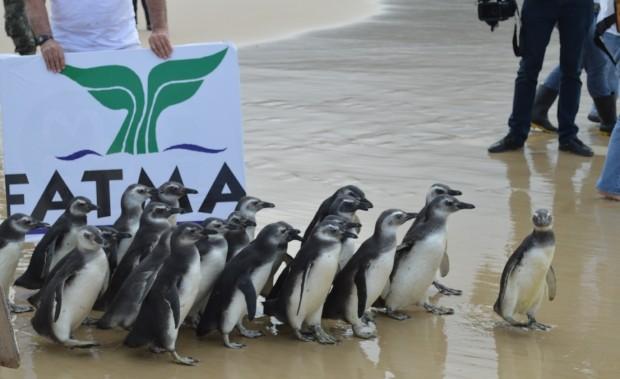 Em 2015, pinguins foram soltos depois de reabilitados em ONG (Foto: Anne Caroline Anderson/Divulgação)