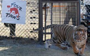 O tigre Laziz é liberado em seu novo recinto no Lionsrock Big Cat Sanctuary, em Bethlehem, na África do Sul, na quinta (25). Foto: AP Photo/Themba Hadebe