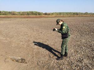 Agente registra carcaça de pirarucu na lama. Foto: Cassiano Rolim/TV Anhanguera