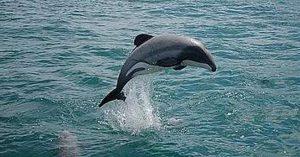Golfinho-de-hector, cetáceo encontrado na Nova Zelândia Foto: Divulgacão