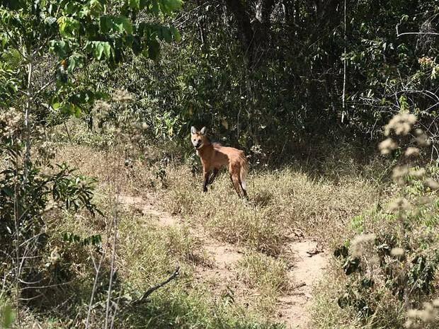 Loba-guará solta em área de cerrado em Goiás pelo Ibama e zoo de Brasília nesta sexta (9) (Foto: Alexandre Bastos/G1)