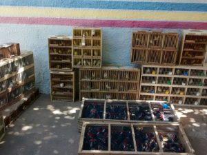 Aves seriam comercializadas em Caruaru. Foto: Polícia Militar/Divulgação