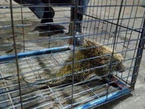 Ouriço foi resgatado pelos bombeiros em Tupã. Foto: Corpo de Bombeiros/Divulgação