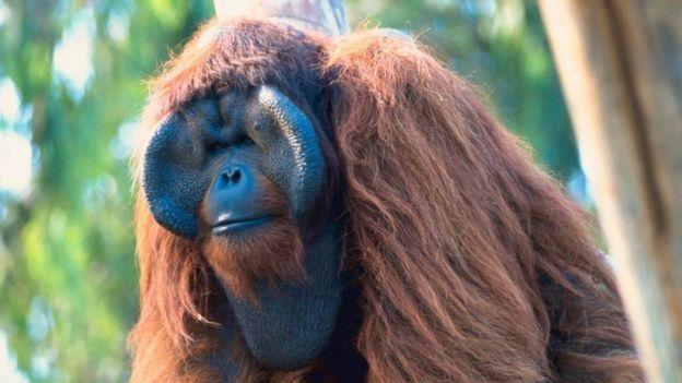 Em Bornéu e Sumatra, a derrubada de florestas aumentou o tráfico de macacos.