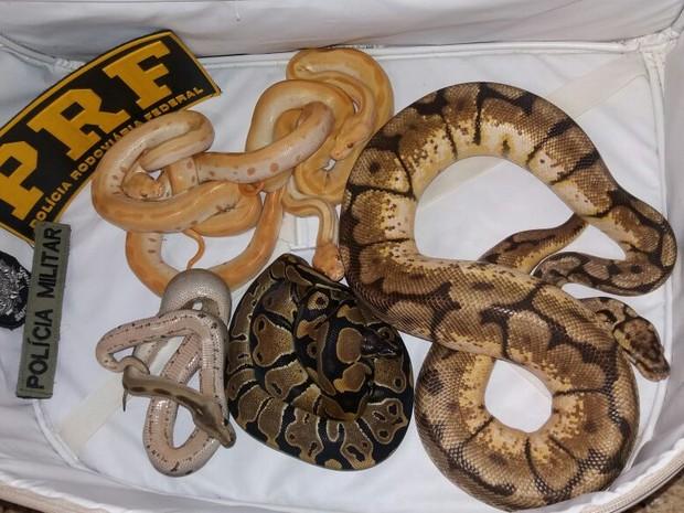 Sete cobras estavam dentro de mala transportada em carro em SC (Foto: PRF/Divulgação)