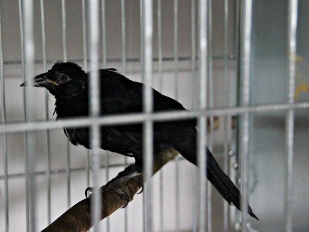 Ave da espécie Japu foi o sobrevivente de um temporal no Parque Dez que derrubou o ninho e matou a mãe e outros filhotes (Foto: Suelen Gonçalves/ G1 AM)