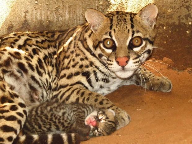 Jaguatiricas foram soltas em fazenda do Tocantins (Foto: Caroline Duks/Naturatins/Divulgação)
