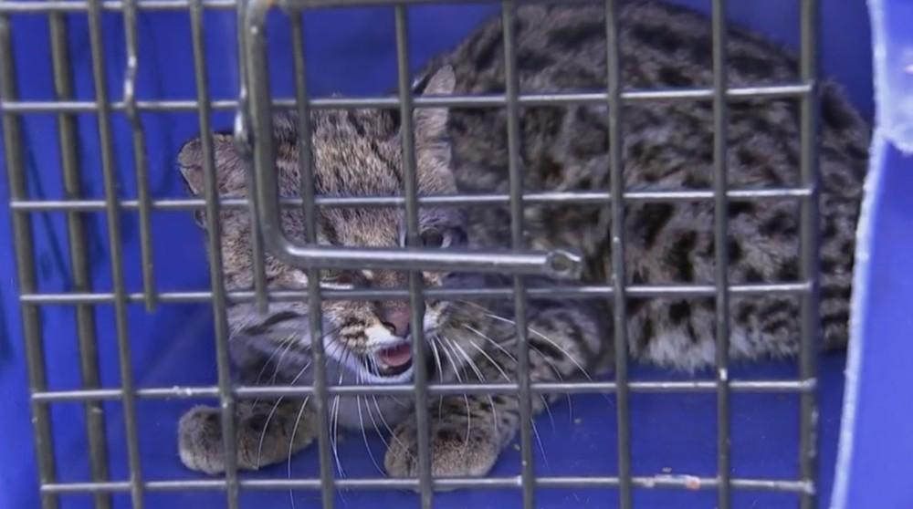 Gato-do-mato-pequeno foi solto em reserva ambiental (Foto: Reprodução/TV TEM)