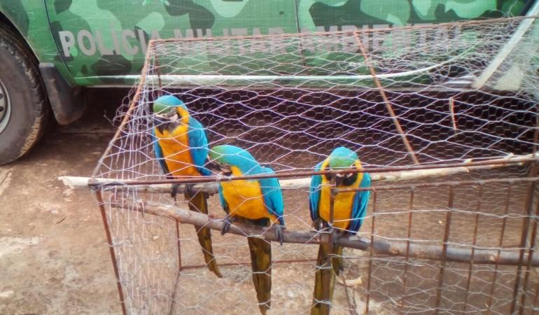 Araras ciscavam como galinhas. Foto: Polícia Ambiental