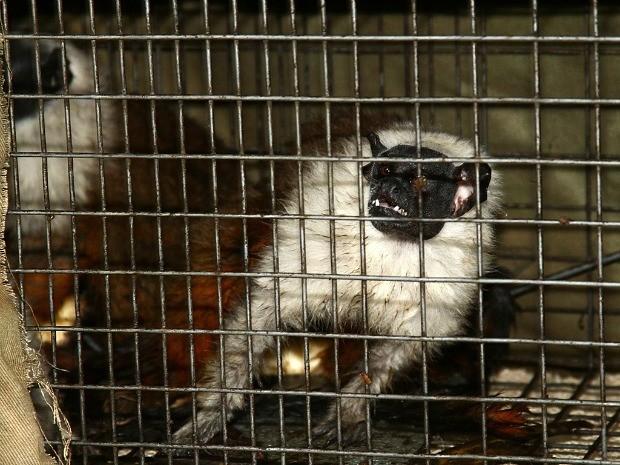 Sauins-de-coleira estão ameaçados de extinção (Foto: Divulgação/SEC)