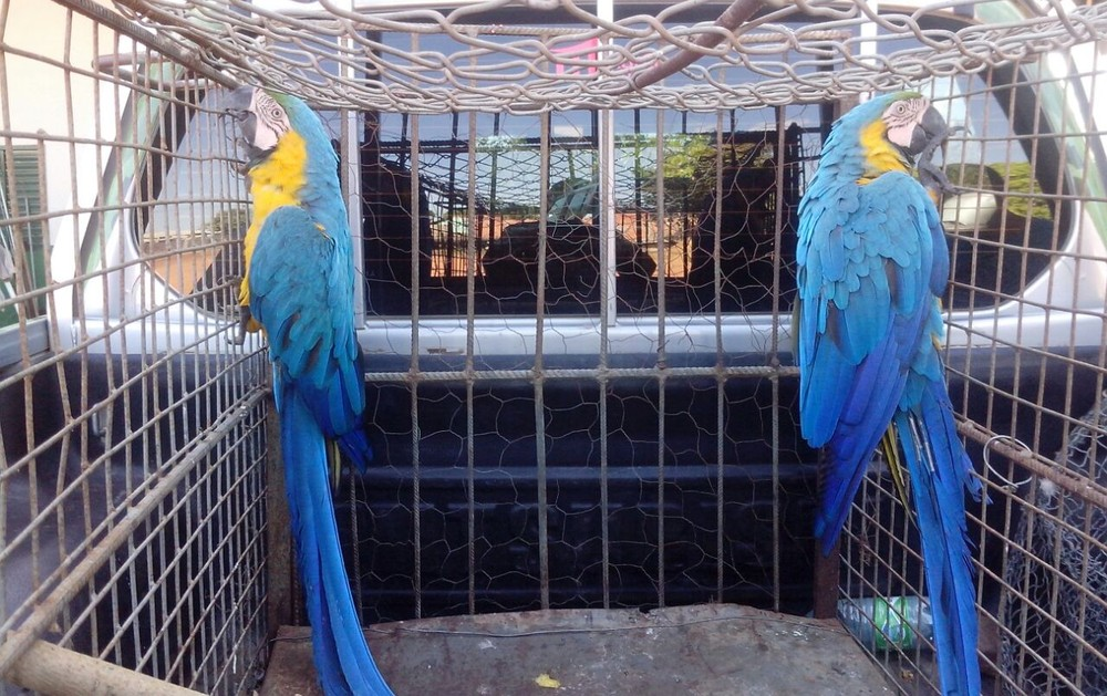 Araras foram encontradas danificando iluminação pública (Foto: PM Ambiental/Divulgação)