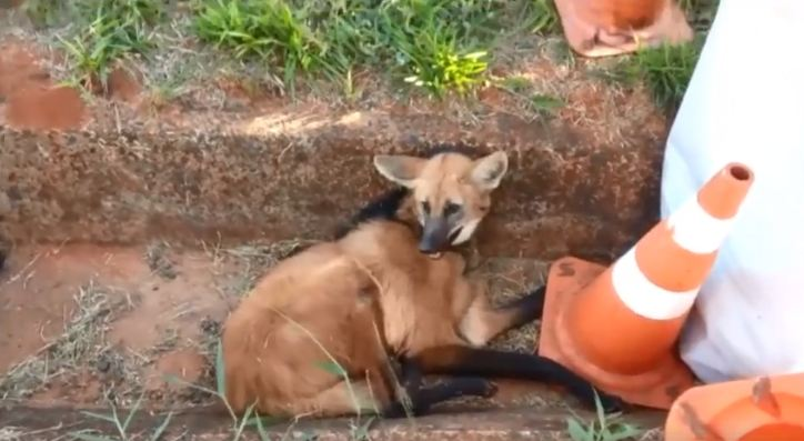 Lobo-guará sofreu fraturas nas patas traseiras