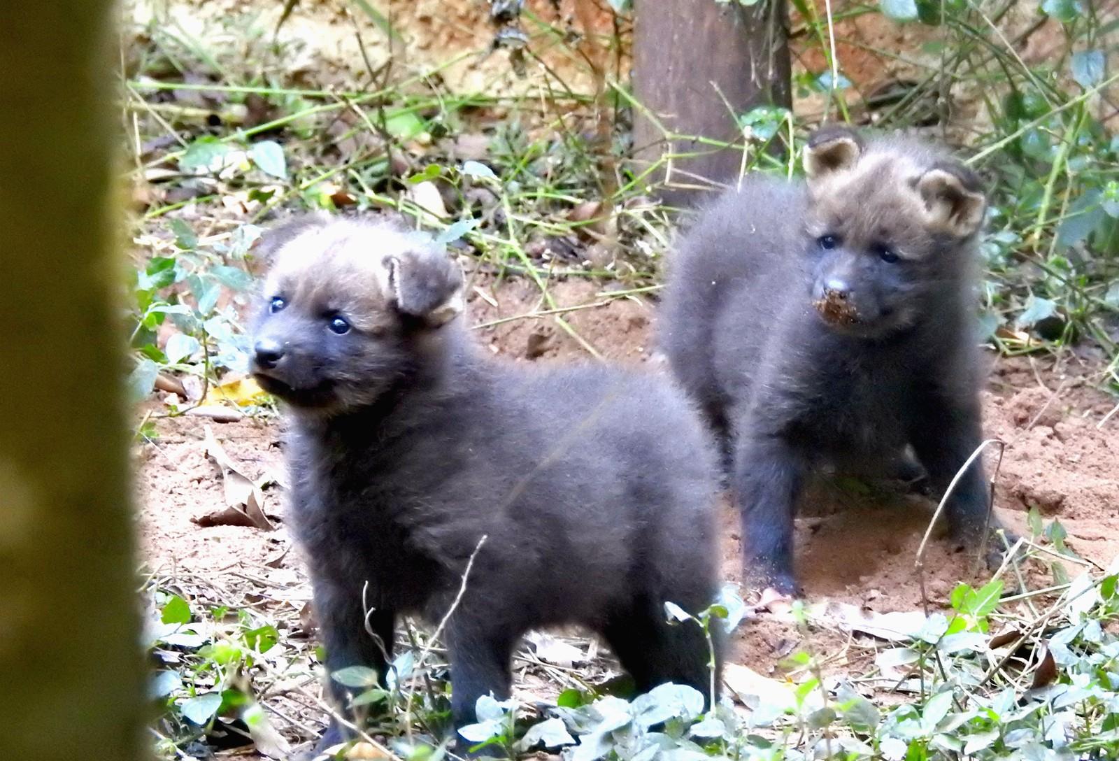 Os dois filhotes de lobo-guará nasceram no início do mês e devem ficar por um ano no Zoo de Bauru (Foto: Divulgação / Zoo-Bauru)